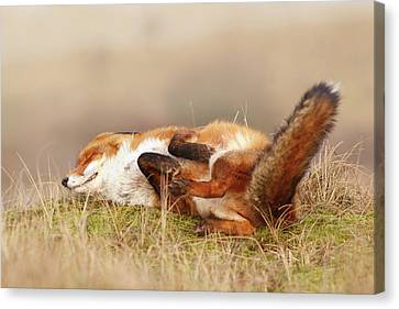 The Laughing Fox Canvas Print