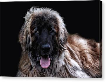 Hdr Look Canvas Print - The Leonberger by Joachim G Pinkawa