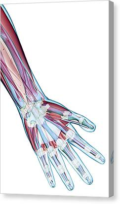 Human Body Part Canvas Print - The Ligaments Of The Hand by MedicalRF.com