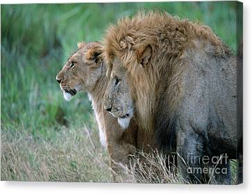 The Lion And His Lioness Canvas Print by Sandra Bronstein