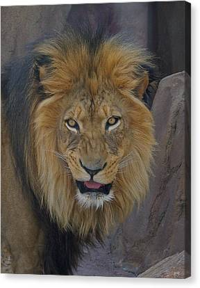 The Lion Dry Brushed Canvas Print