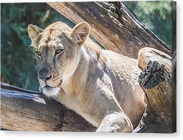 The Lioness Canvas Print by David Collins