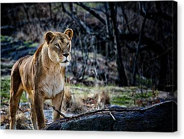 The Lioness Canvas Print by Karol Livote