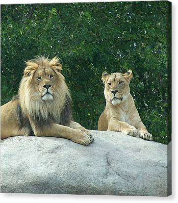 The Lions Canvas Print