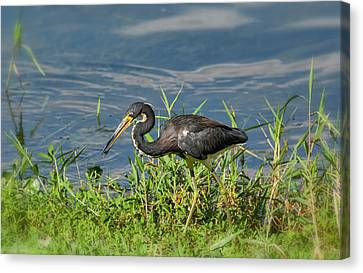 The Little Tri-colored Heron  Canvas Print