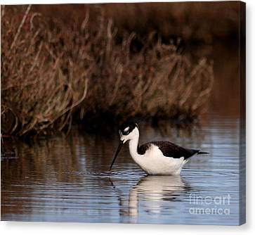 Bif Canvas Print - The Lone Stilt by Wingsdomain Art and Photography