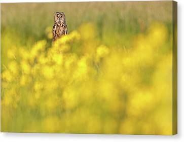 Long Bed Canvas Print - The Long Eared Owl In The Flower Bed by Roeselien Raimond
