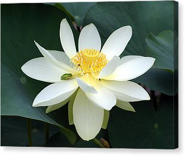 Canvas Print featuring the photograph The Lotus Flower The Frog And The Bee by Gary Crockett