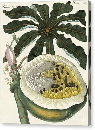 Plantation Canvas Print - The Melon Or Papaya Tree by German School