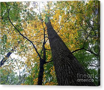 Southern Indiana Autumn Canvas Print - The Mighty Tulip Popular State Tree Of Indiana by Scott D Van Osdol
