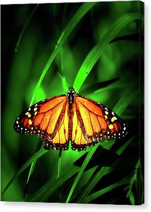 The Monarch Tree Canvas Print by Mark Andrew Thomas