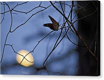The Moon And The Monarch Canvas Print by Jeff Rose