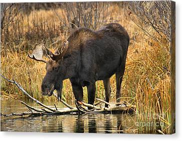 The Moose And The Log Canvas Print by Adam Jewell