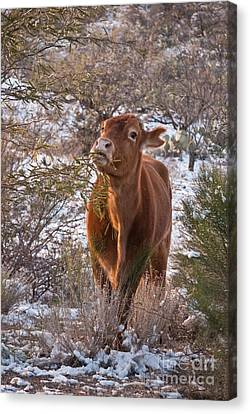 The New Years Cow Canvas Print by Donna Greene