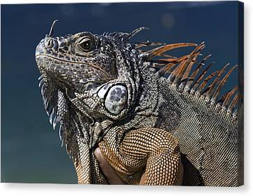 The Night Of The Iguana Canvas Print