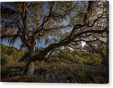The Oak By The Side Of The Road Canvas Print