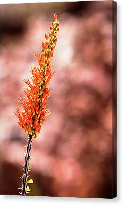 Canvas Print featuring the photograph The Ocotillo by Onyonet  Photo Studios