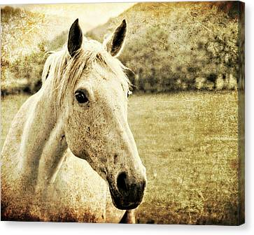 The Old Grey Mare Canvas Print by Meirion Matthias