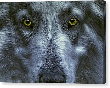 The Old Grey Wolf Canvas Print by Joachim G Pinkawa