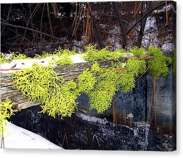 Pine Needles Canvas Print - The Old Mossy Flume by Will Borden