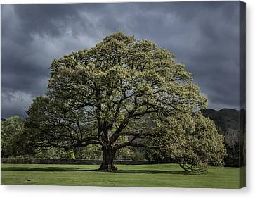 The Old Oak Of Glenridding V2.0 Canvas Print by Chris Fletcher