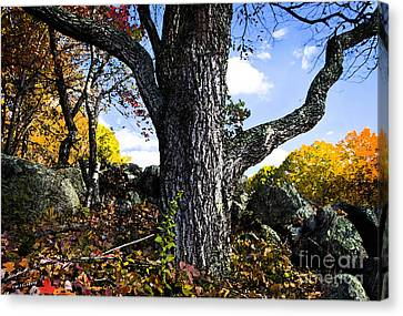 The Old Oak Tree Canvas Print by Jim  Calarese