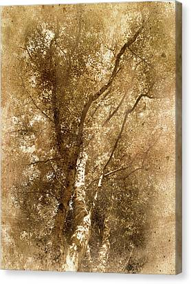 The Old Silver Birch Canvas Print by The Rambler