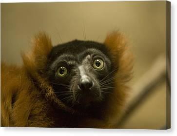 The Omaha Zoos Red Ruffed Lemur Varecia Canvas Print