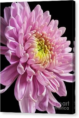 The One And Only Dahlia  Canvas Print