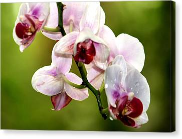 The Orchid Canvas Print by Karen Scovill