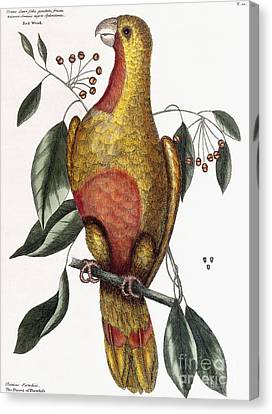 Red Leaf Canvas Print - The Parrot Of Paradise, Psitticus Paradisis by Mark Catesby
