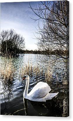 The Peaceful Swan Canvas Print by David Pyatt