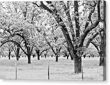 Canvas Print - The Pecan Orchard - Bw by Scott Pellegrin