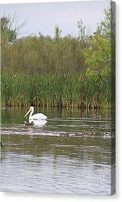 Canvas Print featuring the photograph The Pelican And The Ducklings by Alyce Taylor