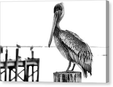 The Pelican In Black And White Canvas Print by JC Findley