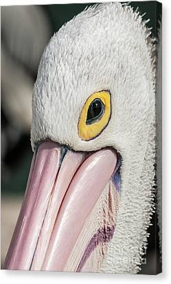 The Pelican Look Canvas Print by Werner Padarin
