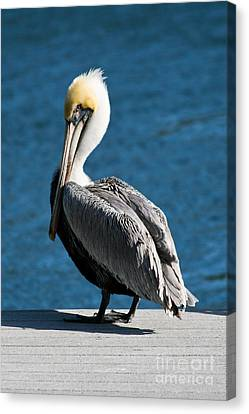 Canvas Print - The Pelican by Steven Gray