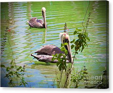The Pelicans Canvas Print