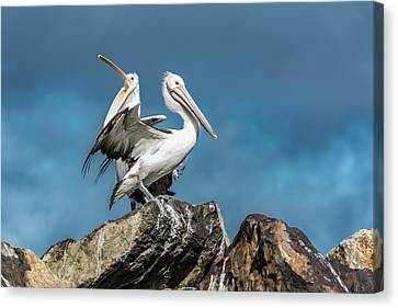 The Pelicans Canvas Print by Racheal Christian