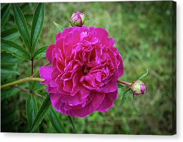 Canvas Print featuring the photograph The Peonie by Mark Dodd