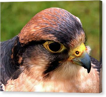 The Peregrine Canvas Print by Stephen Melia