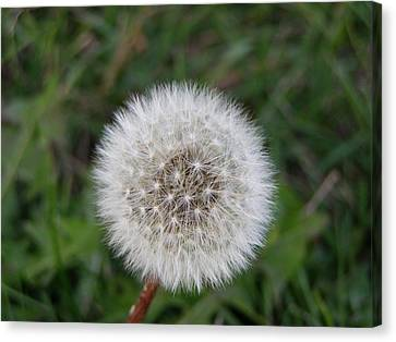 Canvas Print featuring the photograph The Perfect Dandelion by DeeLon Merritt