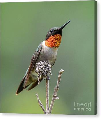 The Perfect Lookout Canvas Print by Amy Porter