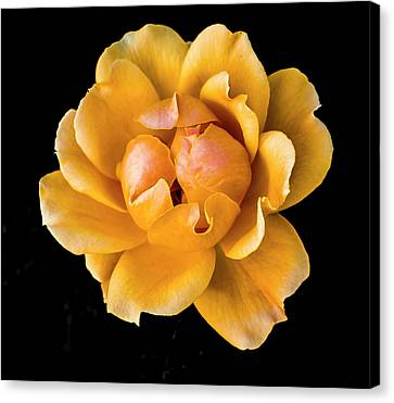 The Perfect Rose Canvas Print