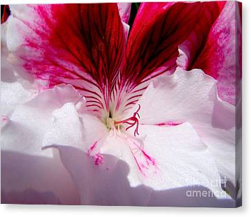 The Petunia In Glorious Red And White Canvas Print by Mary Deal