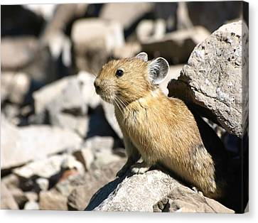 Canvas Print featuring the photograph The Pika by DeeLon Merritt