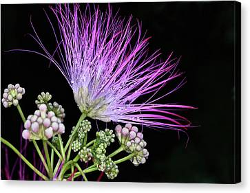 The Pink Mimosa Flower Canvas Print