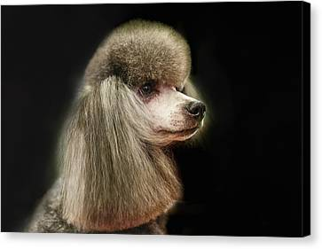 The Poodle Is A Breed Of Dog, One Of The Most Common Breeds In The Present. Canvas Print