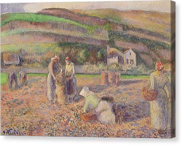 The Potato Harvest Canvas Print by Camille Pissarro