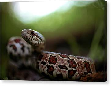 The Prairie Kingsnake Canvas Print by Kyle Findley